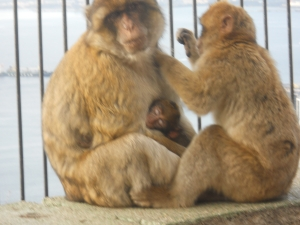 baby monkey and family