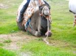 Arabian Donkey