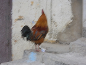 Lost Rooster