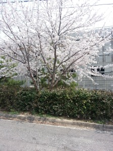 Cherry Blossoms outside my window