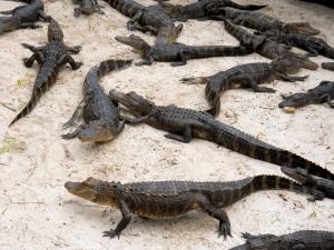Just after feeding the gators.( Orlando, FL)