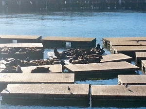 sea lions basking on pier 39